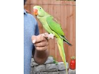 Baby Alexandrian talking parrot,3 month old babies, Hand Tamed