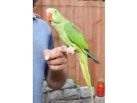 Baby Alexandrian talking parrot, Hand Tamed babies