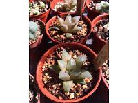 Haworthia 'Sugar Plum' succulent plant