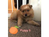Ready soon Pomeranian puppies