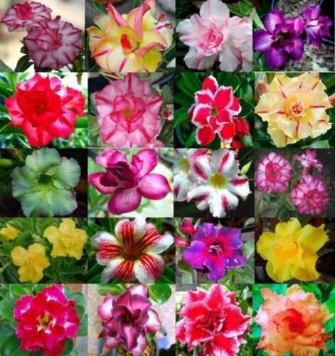 50 Desert Rose Seeds (Adenium obesum) - Mixed Colors & Varieties - US SELLER