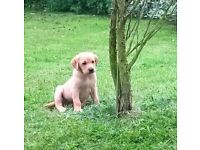 Beautiful KC Registered Labrador Fox Red Puppies - READY NOW!!