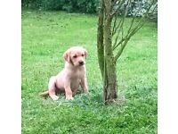 Beautiful KC Registered Retriever (Labrador) Fox Red Puppies !!!Ready to leave this weekend!!!