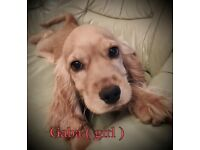 Cocker Spaniel 2 girls and 2 boys puppies for sale.