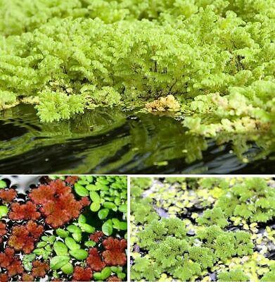 Feenmoos winterfeste schnell wachsende Schwimmpflanzen Teichpflanze gegen Algen ()