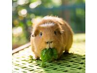 2 female guinea pigs with everything they need