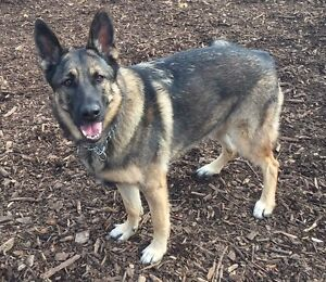 German shepherd female looking for a new home