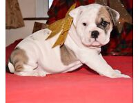 Old English Bulldog pups