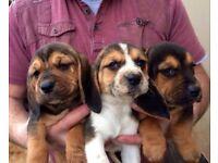 F1 puggle pups for sale