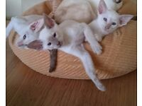 Lovely siamese kittens ready now