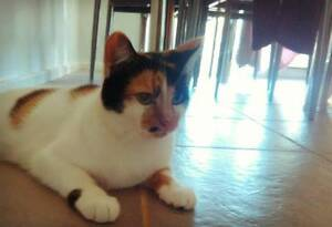 AK0860 : Madonna - CAT for ADOPTION - Vet work included Guildford Swan Area Preview