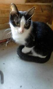 Baby Female  - Domestic Short Hair-black and white