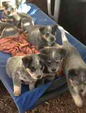 Australian Cattle Dogs East Gresford Dungog Area Preview