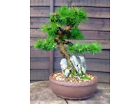 Exceptional Quality Shohin Larch