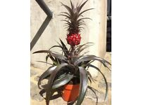 Red Pineapple Plant
