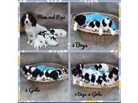 Sproodle Puppy's for sale