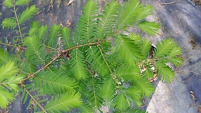 Bald Cypress Tall Pyramid Shape Tree Plant - Shipped in Liner pots ()