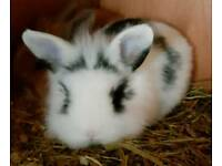 Mini lion head lop