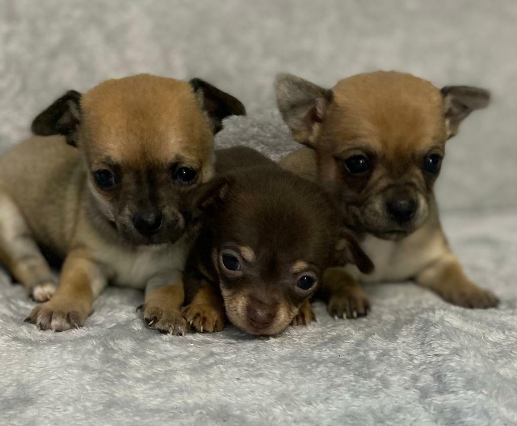 Chihuahua Puppies Long Haired In Coatbridge North Lanarkshire Gumtree