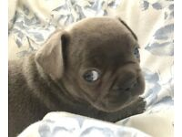 Blue French Bulldog pups East Devon Ready May 6th