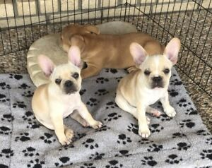 Red, fawn and cream french bulldog puppies