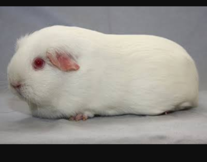 Wanted: Pedigree cavies wanted. Self & crested whites in PE & DE.