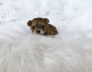 ❤️True Teacup Doll Face Morkie Puppies❤️