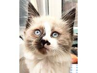 Fluffy blue point half ragdoll kittens