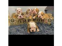 Bulldog puppies kc registered