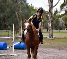 Free lease of quiet gelding Boyanup Capel Area Preview