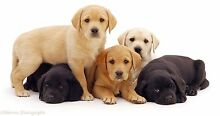 Looking for a puppy New Beith Logan Area Preview