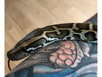 CB17 Female Burmese Python & Equipment