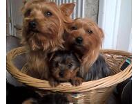 Miniature Yorkshire terrier pups