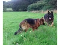 Puppies german shepherd long coat