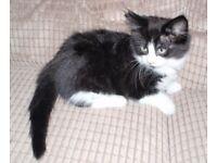 Beautiful Black & White Fluffy Female Kitten