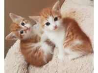2 ginger male kittens