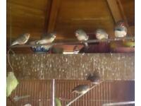 Zebra Finches