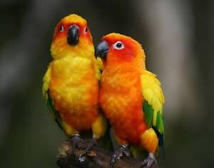 MATURE SUN CONURES BONDED PAIRS OR SINGLES Coffs Harbour Coffs Harbour City Preview