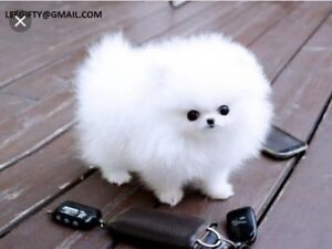 Wanted: Wanted Pomeranian puppy or Maltese pup. NEGOTIABLE