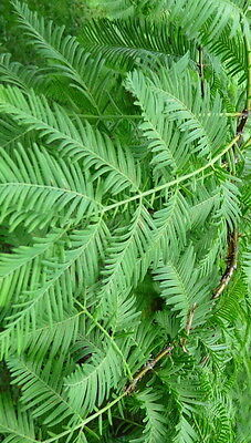 Dawn Redwood Large growing tree seedling cousin to the Giant Redwoods & - Giant Tree