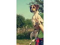 Beagle x terrier