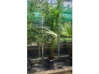 Large canary island date palm
