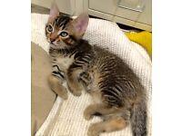 Mixed pedigree kitten