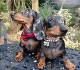 Minuture Dachhunds Silver dapple KC REG.