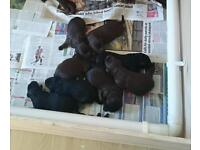Labradooddles pups for sale