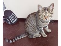 6 Month old Tabby Male Cat