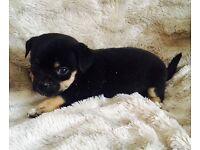 ***3/4 chihuahua puppy ***