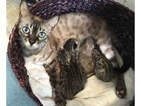 Full Bengal kittens snow charcoal rosette