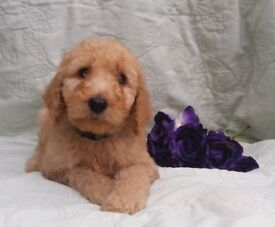 Ready Now KC Registered Standard Poodle Male Puppies