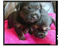 Beautiful chorky puppies